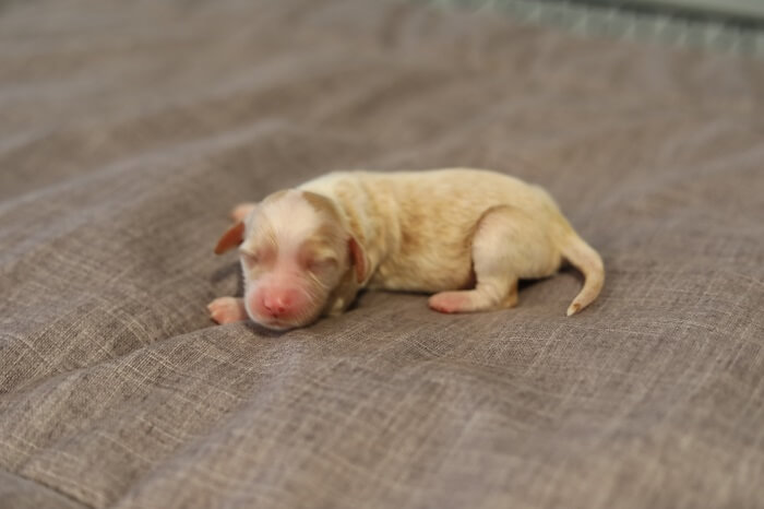 Australian Puppy For Adoption