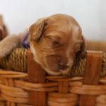 Australian Labradoodle Puppies Australian Labradoodle Puppies