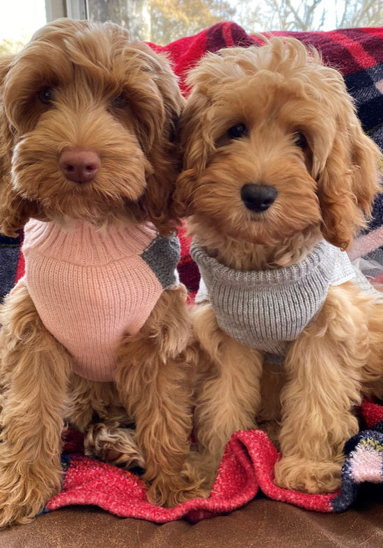 Labradoodles in sweaters