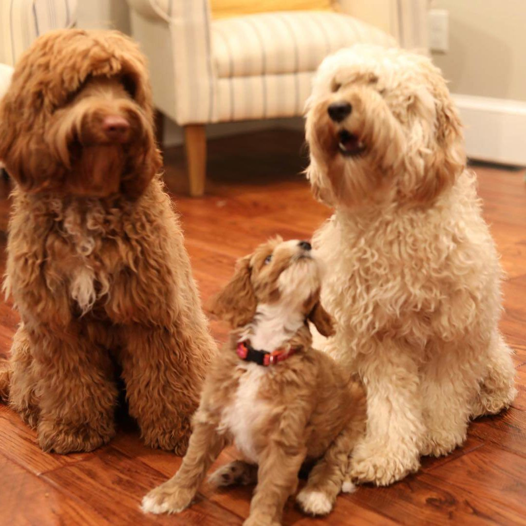 Labradoodle Family